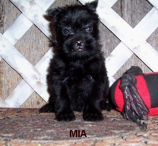 AKC Purebred Affenpinscher Puppies