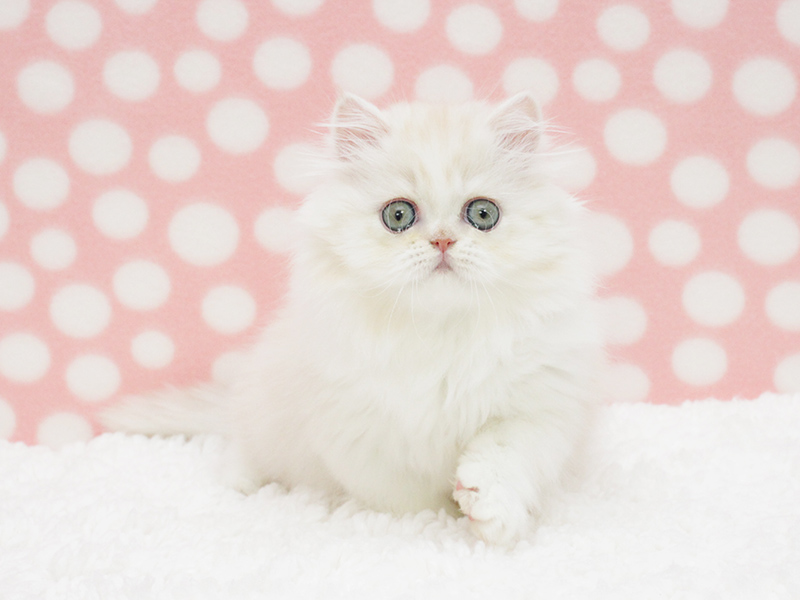 Pefect Persian Kitten for Chrismass