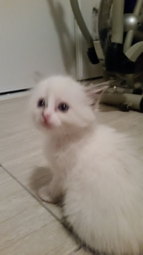 2 purebred ragdoll kittens 1 male 1 female