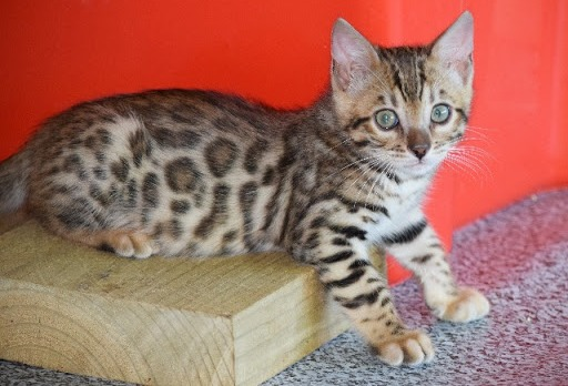 WE HAVE SOME STUNNING KITTENS AVAILABLE.