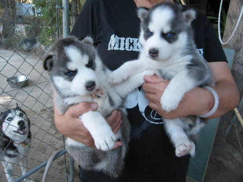 1 boy and 1 girl left. Our Siberian husky has given birth to six beautiful puppies