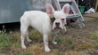 Cute French Bulldog Male