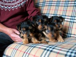 Yorkshire terrier adorable