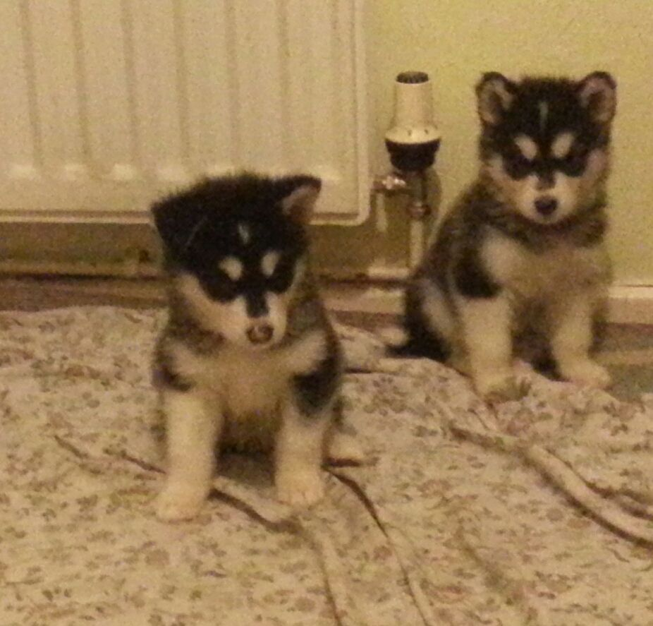 Ready Now!!.beautiful Alaskan Malamute Pup.