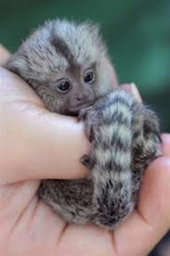 lovely marmoset monkeys