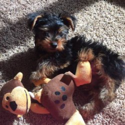 Excellent AKC Registered Yorkie Puppies
