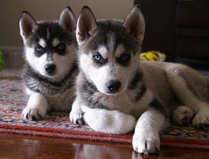 Free classifieds in Spokane, WA › Pets › Dogs › Item details Sweetheart Male and female siberian husky
