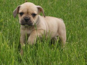 Beautiful gray-fawn french bulldog female