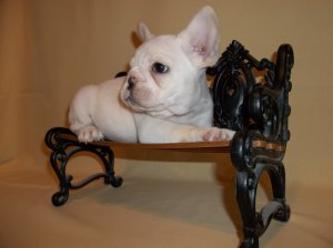 Super Adorable AKC French Bulldog Puppies