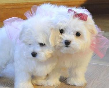 Registered, 4 Mini Maltese puppies