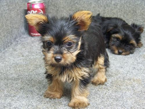 Magnificent Male and Female Yorkie Puppies