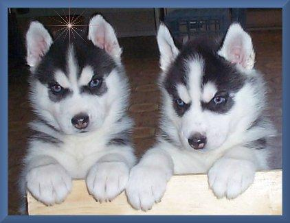 purebred Siberian Husky Puppies available,