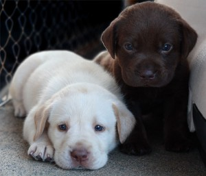Cute Puppies labrador retriever Ready