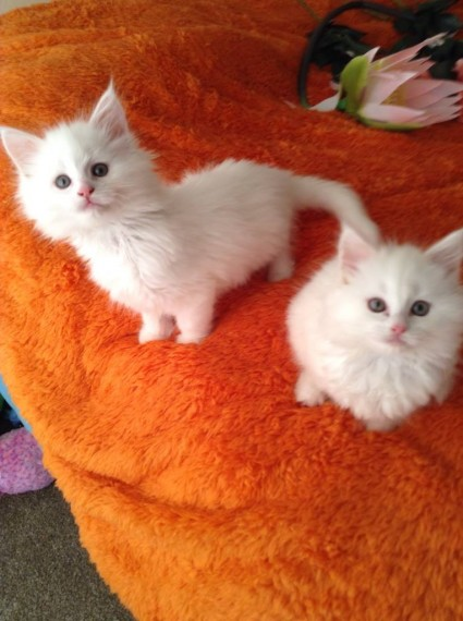 Tica Registered Kittens