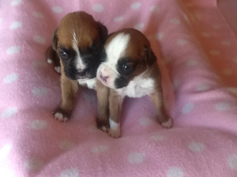 Red Boxer Pups