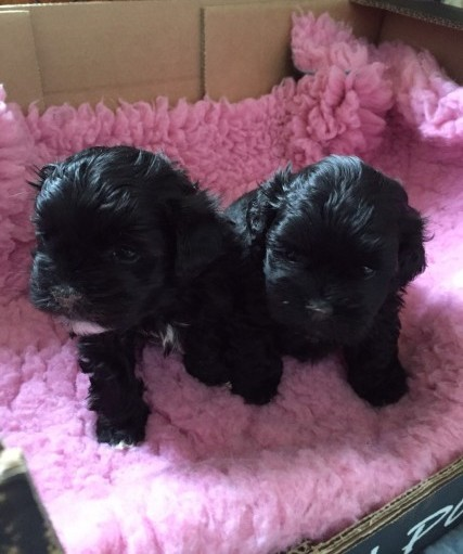 Poodle Cross Shih Tzu Pups Health Tested Dad
