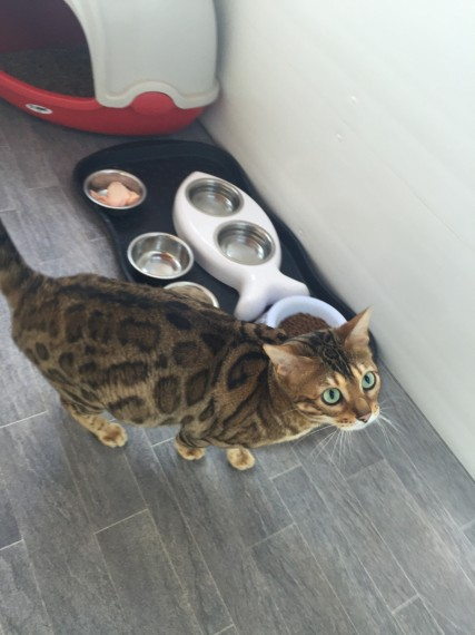Incredible Brown Rosetted Bengal Boy On Active