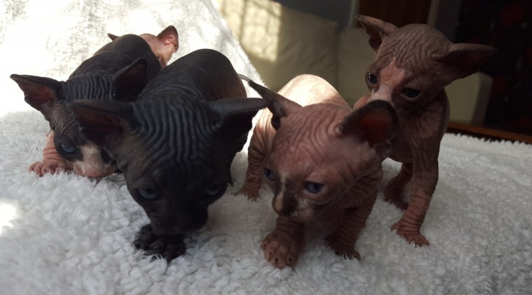 Canadian Sphynx 4 Boys And One Girl