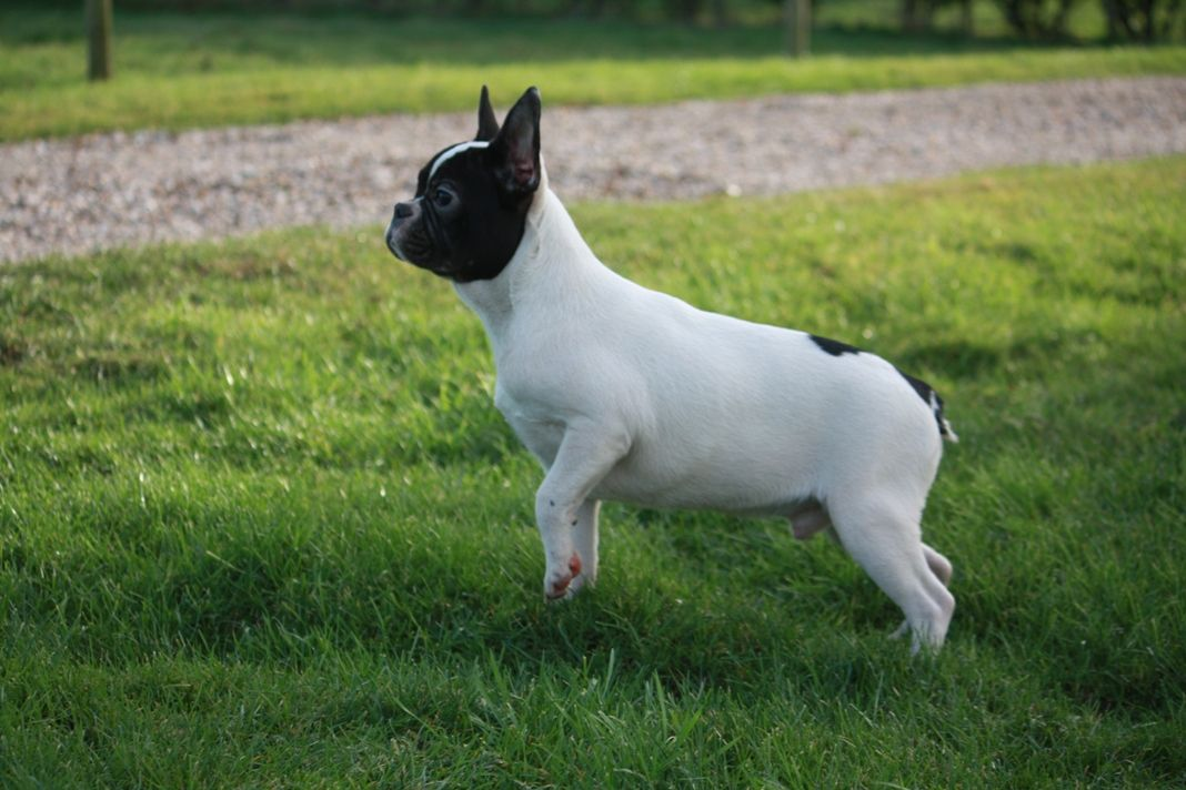 A/a Awesome French Bulldog For Sale Black & Tan F