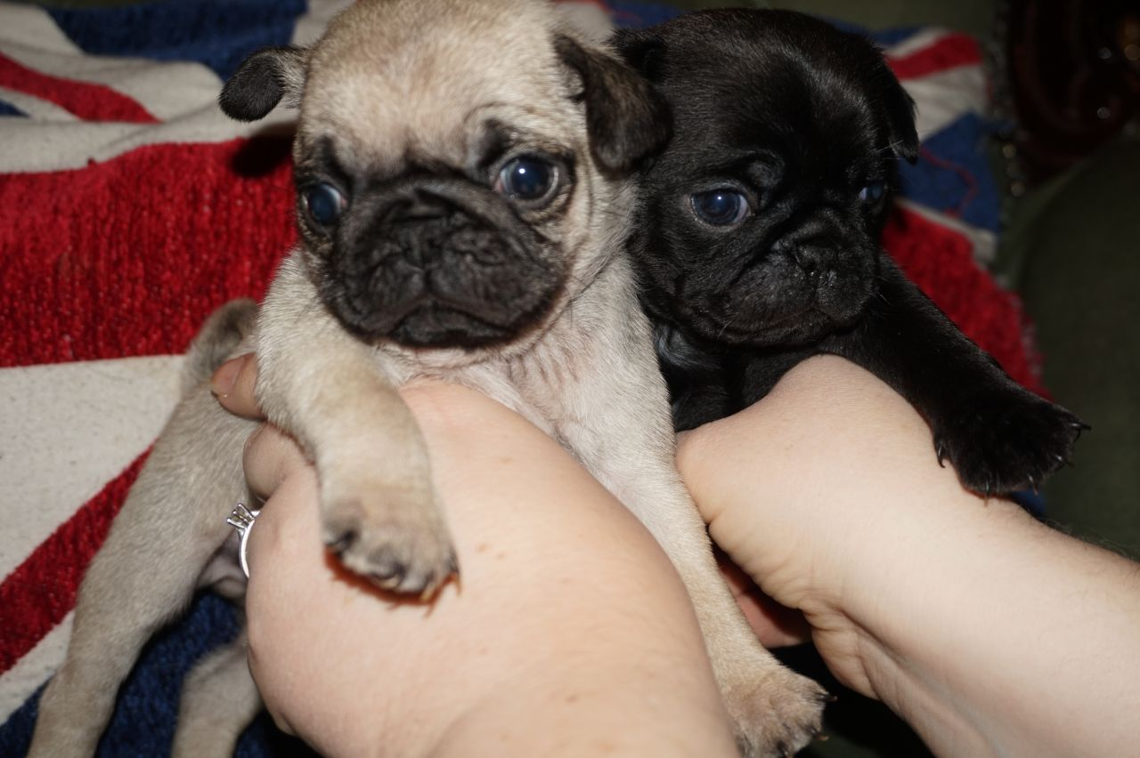 BEAUTIFUL FAWN AND BLACK PUG PUPPIES FOR adoption