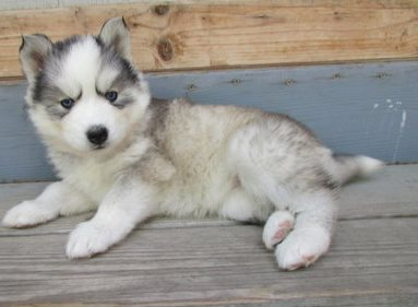 siberian husky puppies available for a new home