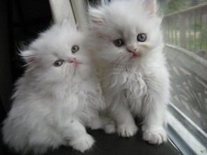 Pure breed Persian kitten - 100%