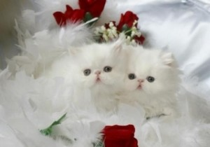 White Teacup Persian Kitten For Sale