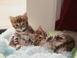Silver Bengal Kittens Available!