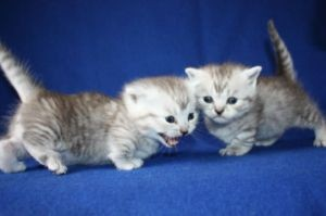 Pure breed Munchkin kittens for adoption