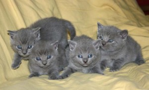 4 Russian blue kittens for adoption