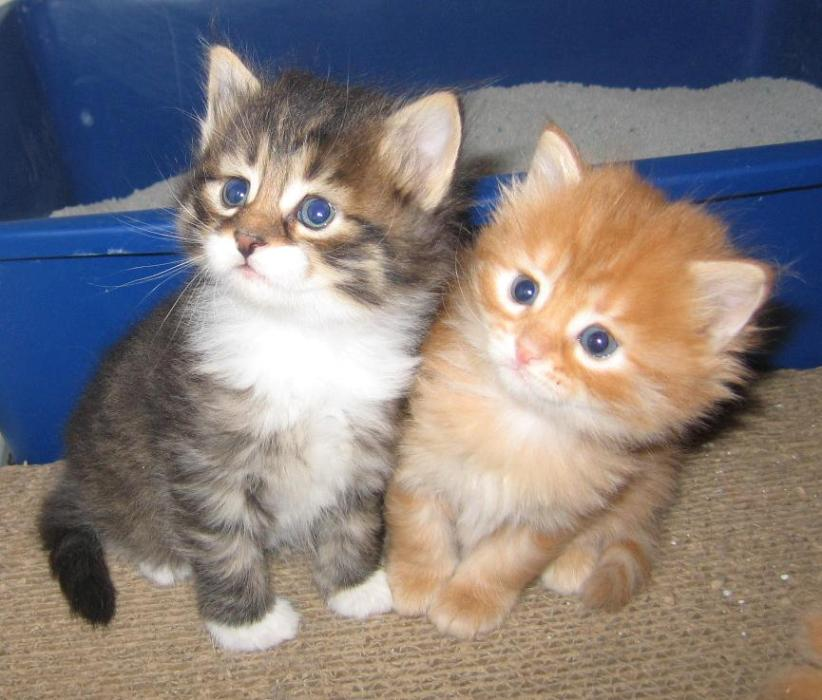 LOVELY SIBERIAN KITTENS FOR ADOPTION