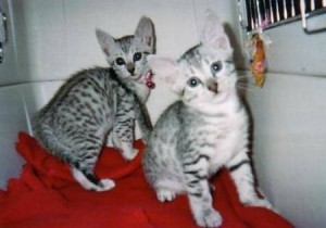 Lovely Eygtian mau kittens for adoption