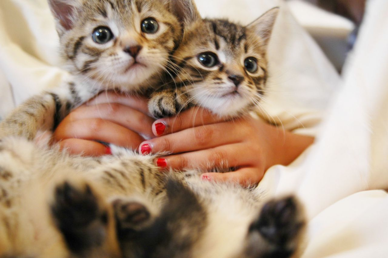 Gorgeous Bengal/tabby Kittens Ready!!!!