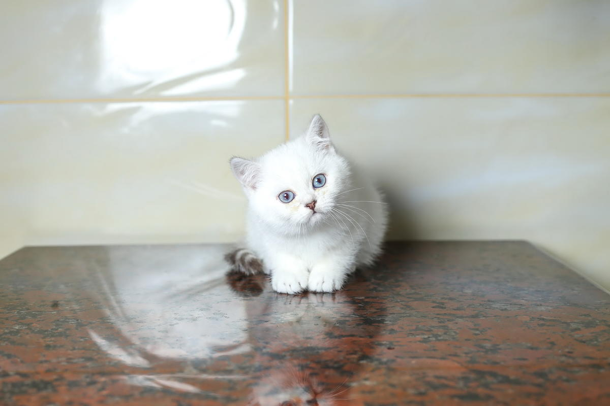 Pedigree Exotic Kitten