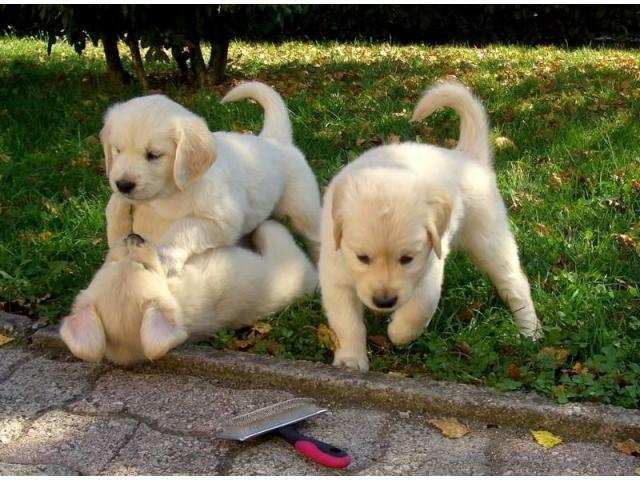 Golden retriever puppies pure breed