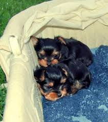 Smart small size Yorkie puppies for sale