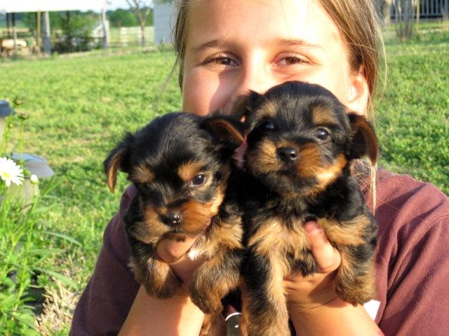 Male/Female Yorkie Puppies for sale