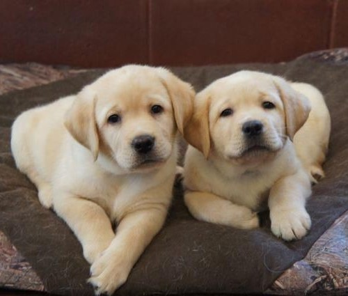 Golden Retriever puppies available for good home.