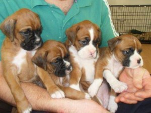 Adorable Boxer Puppies For X-mass now