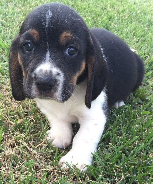 Lovely Basset hound puppies for good homes