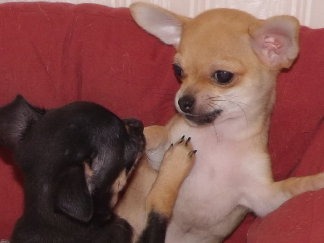 Gorgeous Chihuahua Puppies Ready