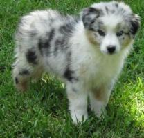 Australian shepherd puppies for sale .