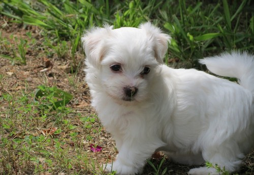 males and females Coton De Tulear Puppies for sale