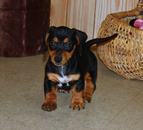 males and females Dachshund Puppies. for sale