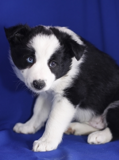 male border collie puppy available for your