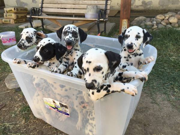 intelligent dalmatian puppies for sale