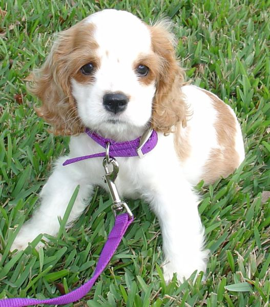 King Charles Spaniel puppies for sale