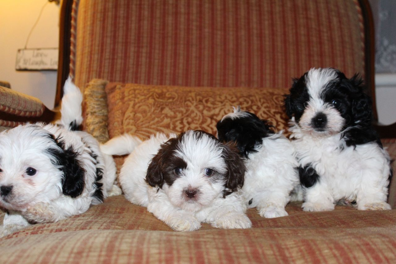 Stunning Half Karashishi Shih Tzu Puppies For Sale