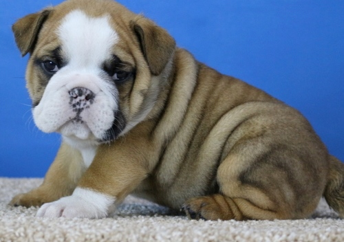 male and female English Bulldog puppies for (free)