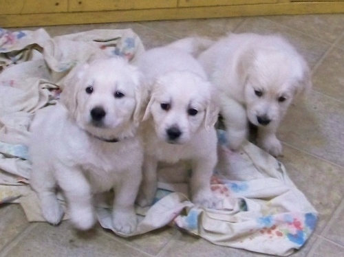 English Golden Retrievers puppies for (free)